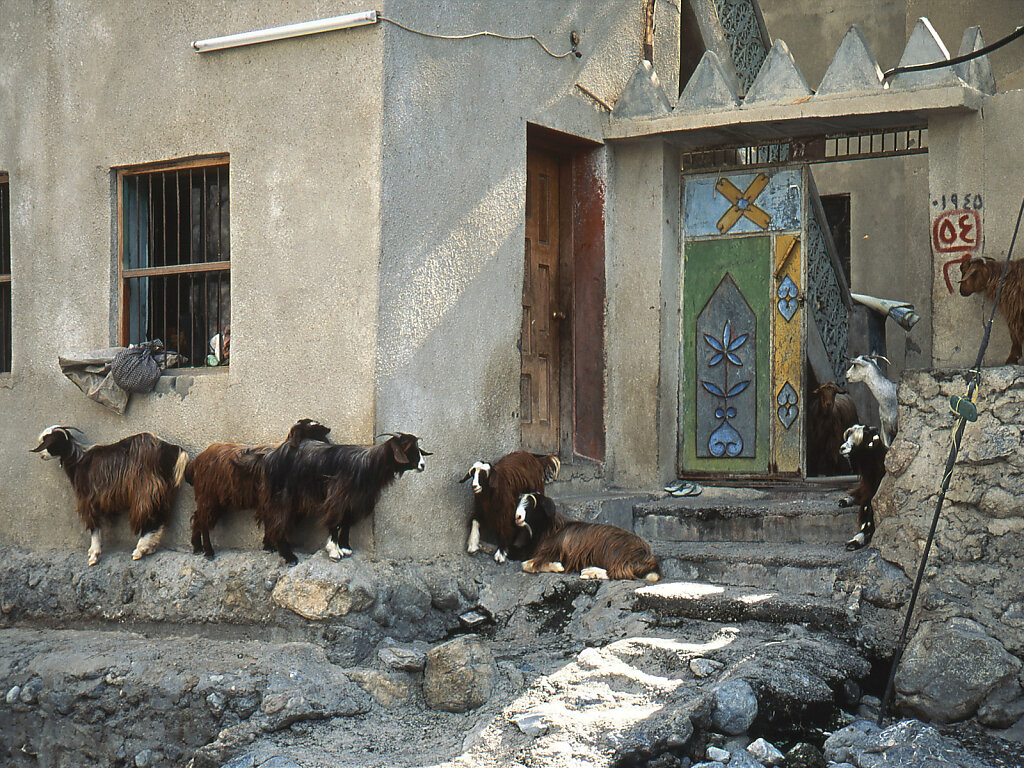 Ziegen in Wadi Nakhl / Goats in Wadi Nahkl