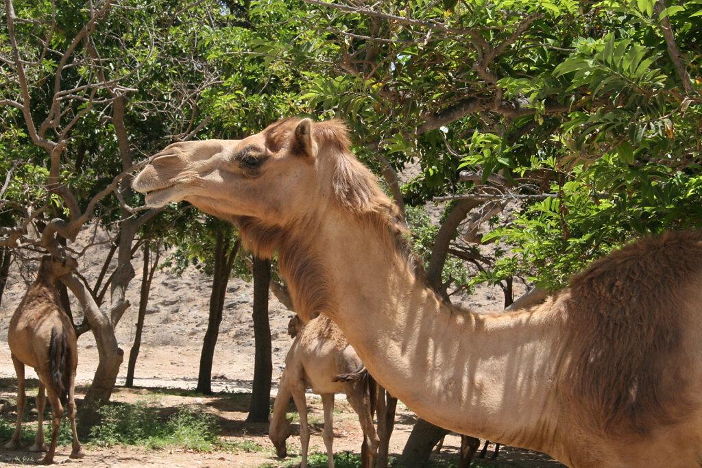 Ain Razat Kamele / Camels