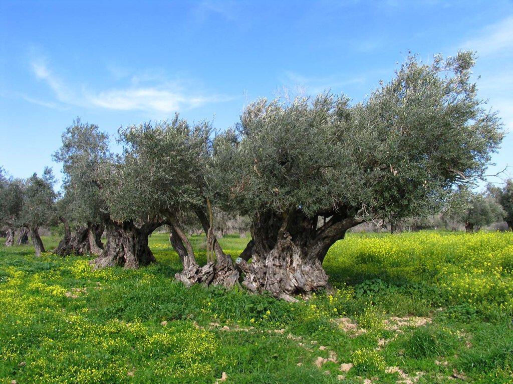 Olivenbaum / Olive Tree Millenium