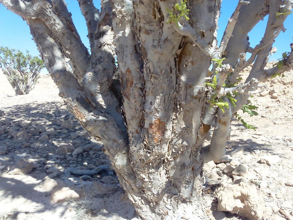 Weihrauchbaum / Frankincense Tree