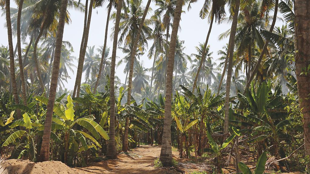 Salalah Plantagen / Plantations